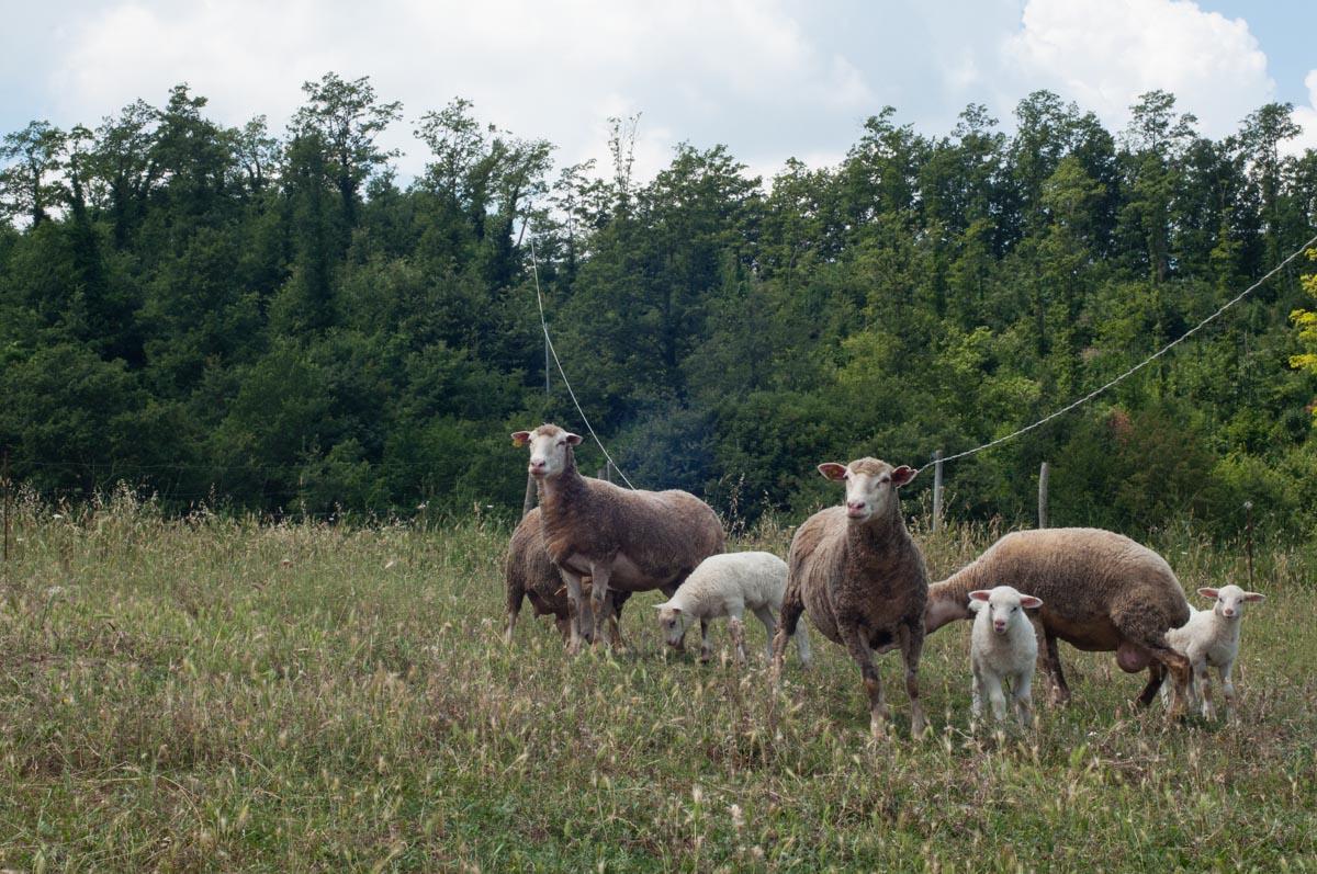 Pecore da carne