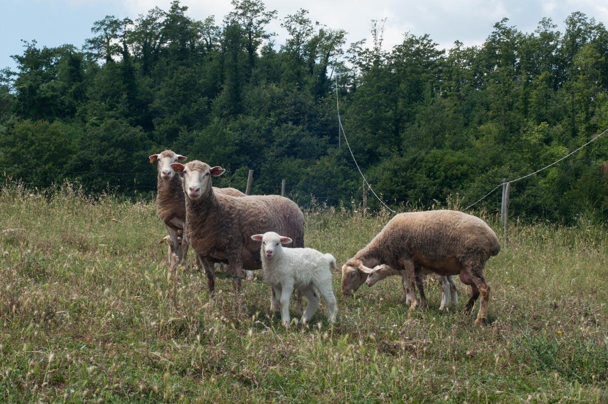 Allevamento incrocio pecore