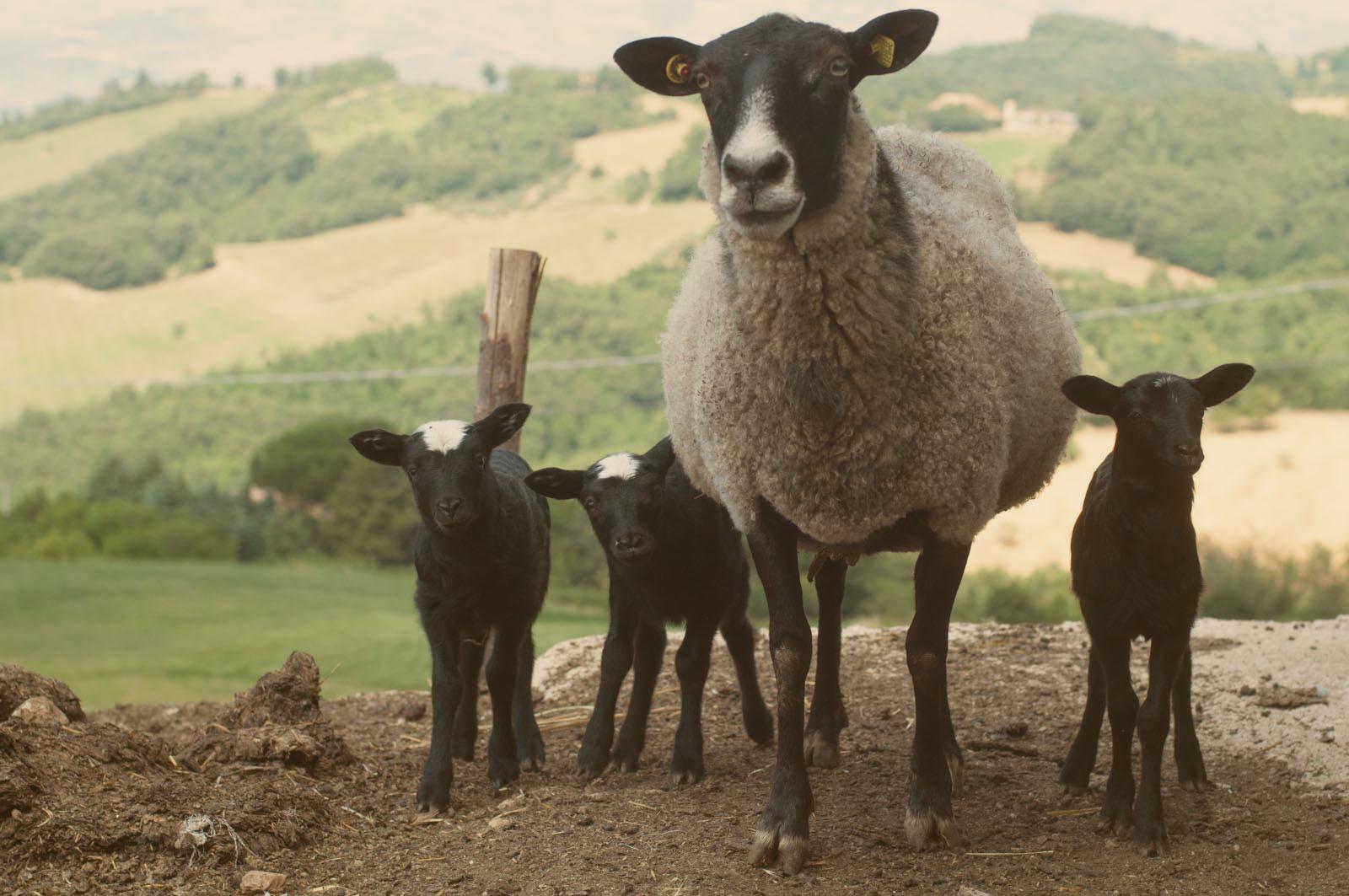 Pecore in vendita
